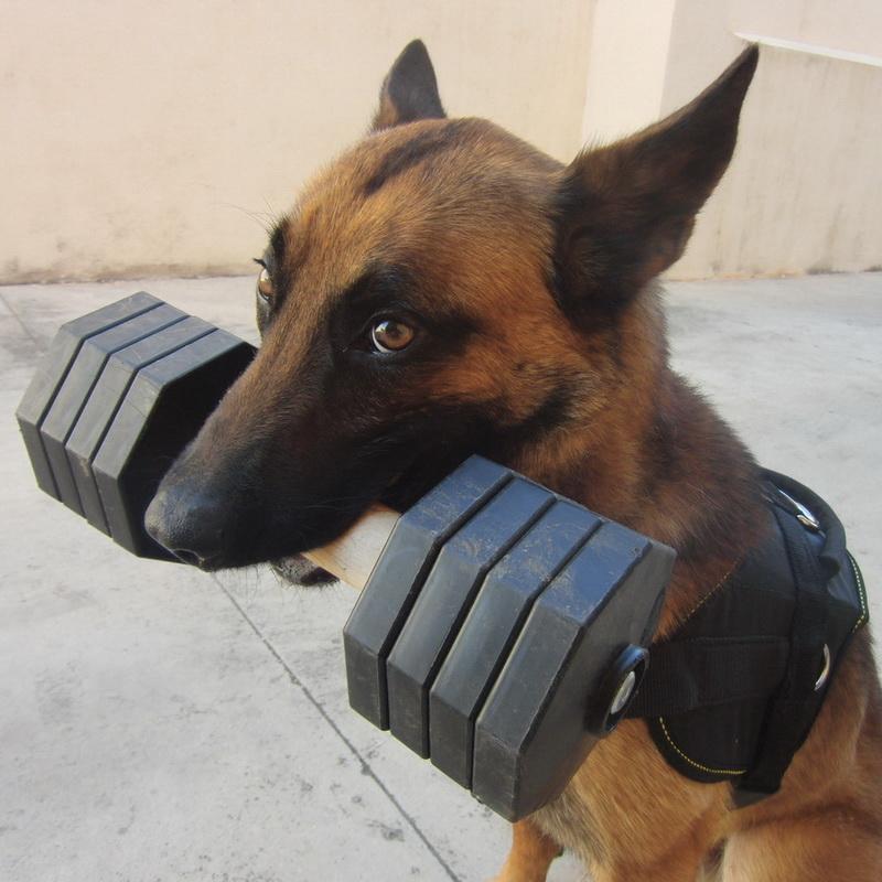 Apportable de dressage chien de race malinois «Tenir ferme