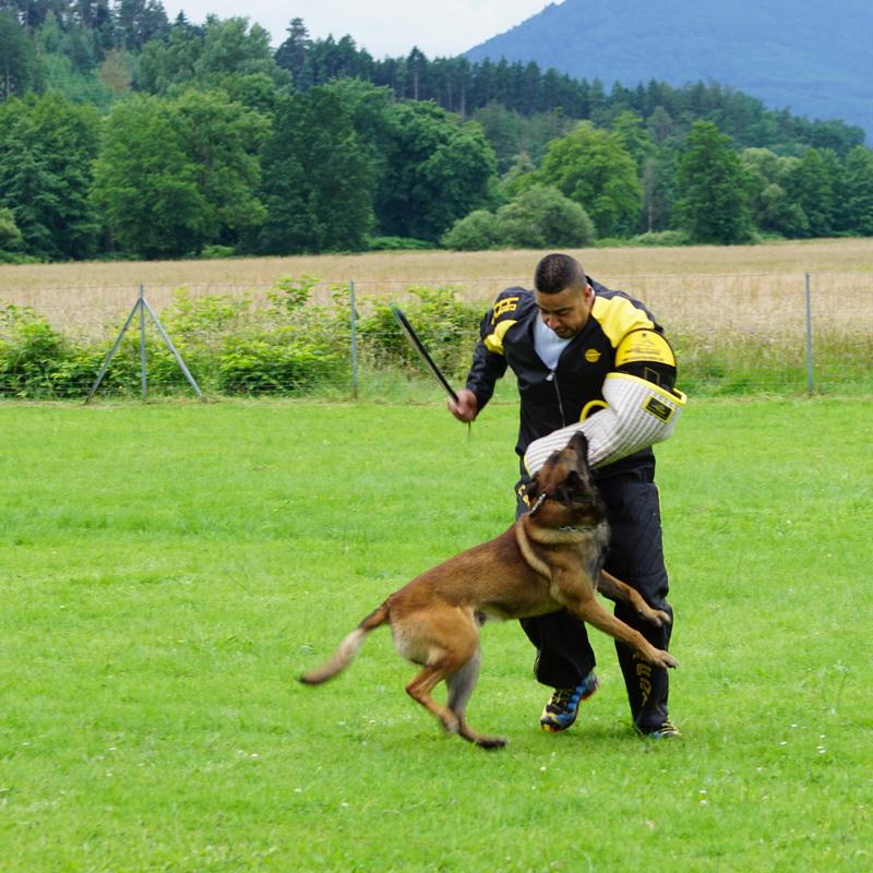 Fouet pour dressage chien berger belge malinois «Coups de