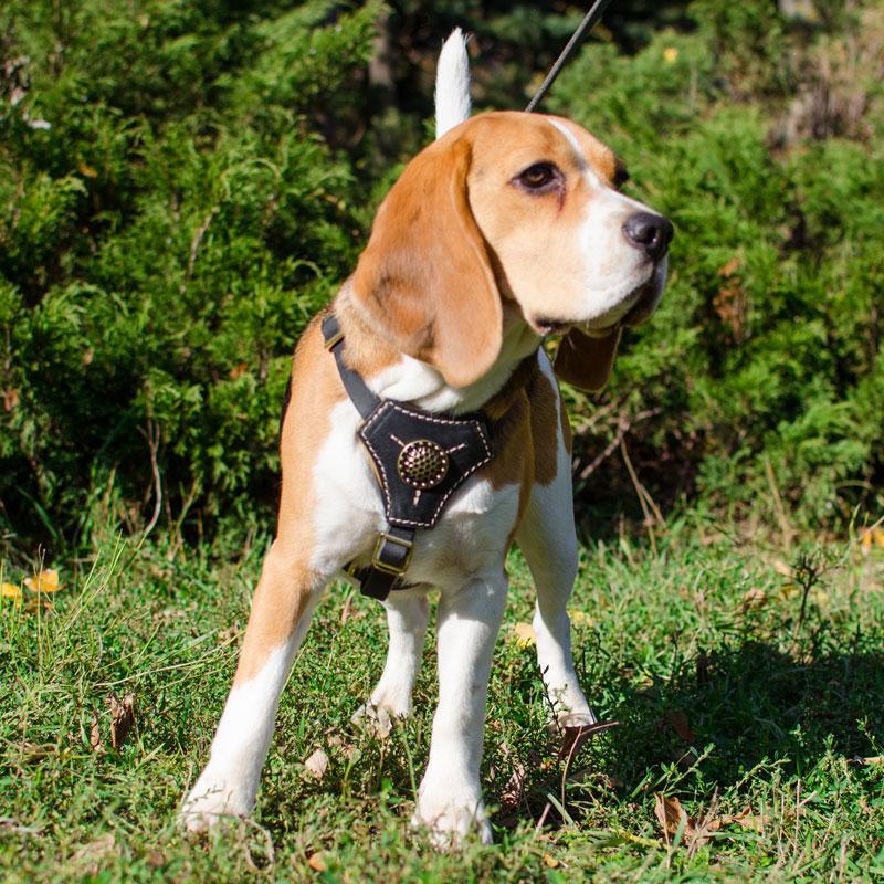 Harnais «Balade tranquille» pour petit chien Beagle - H2R
