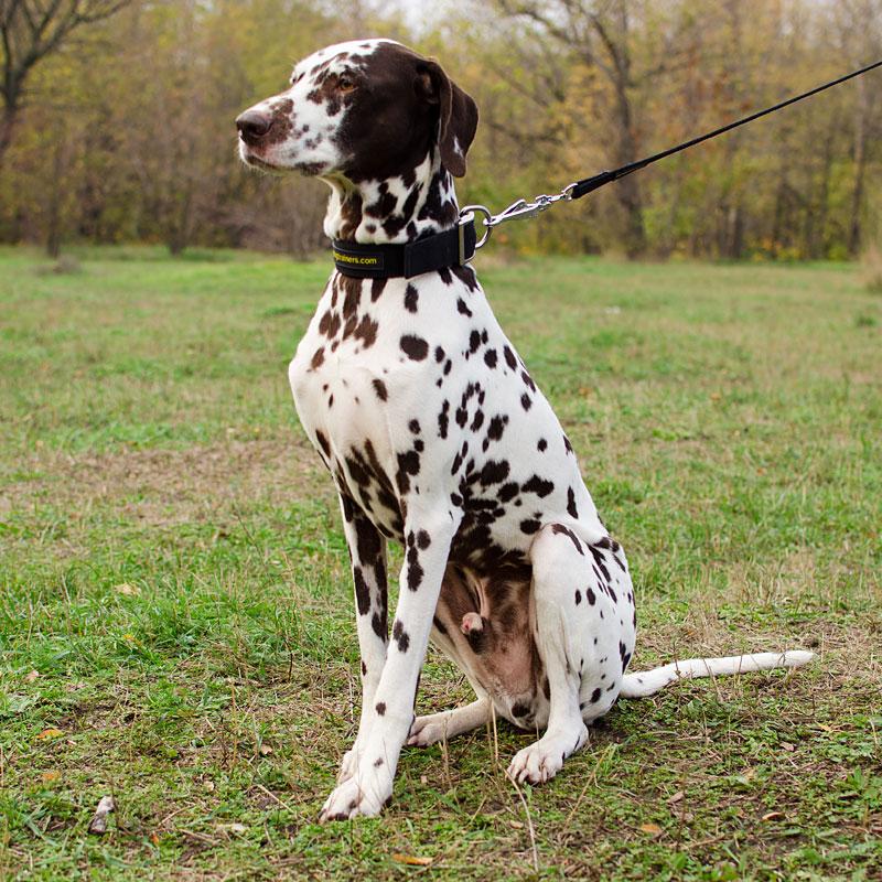 collier pour chien dalmatien adulte de grande taille modestie c40. Black Bedroom Furniture Sets. Home Design Ideas