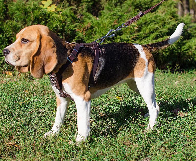 harnais majest en cuir pour petit chien beagle h23. Black Bedroom Furniture Sets. Home Design Ideas