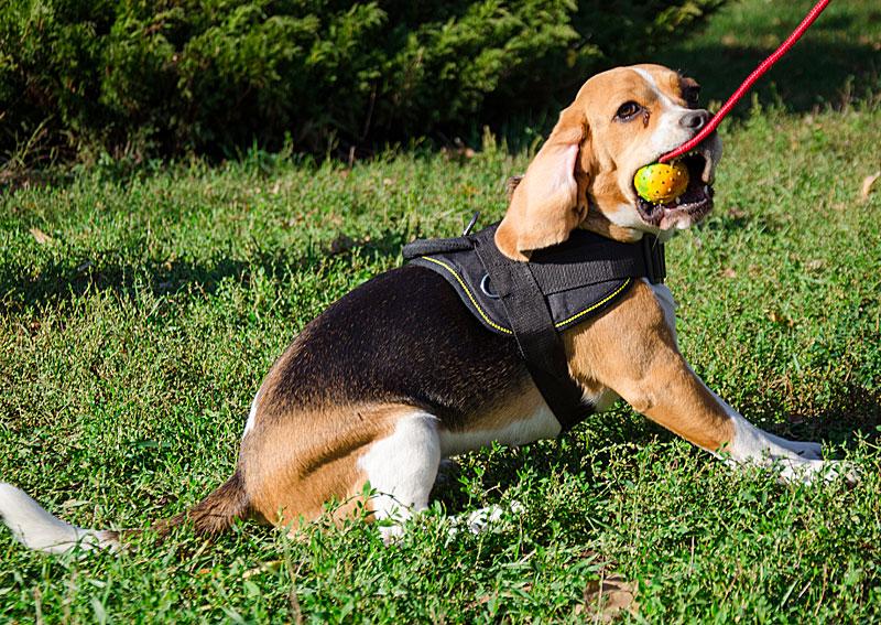 balle jouer s 39 amuser pour petit chien beagle tt3. Black Bedroom Furniture Sets. Home Design Ideas